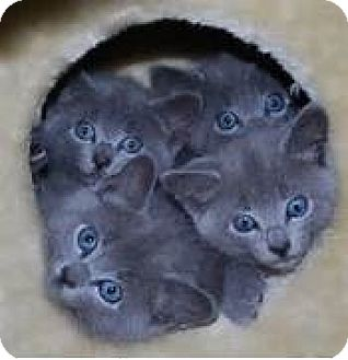 Russian Blue Kitten for adoption in Whitestone, New York - Lilly and Lolly
