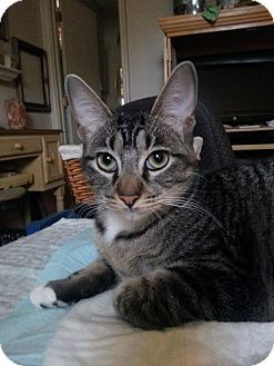 Domestic Shorthair Cat for adoption in Schertz, Texas - Tabby LS
