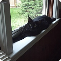 Domestic Mediumhair Cat for adoption in Cleveland, Ohio - Cora