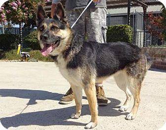 German Shepherd Dog Mix Dog for adoption in Lathrop, California - Lexi