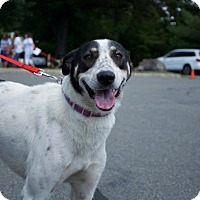 Canaan Dog/Border Collie Mix Dog for adoption in Sparta, New Jersey - Toby