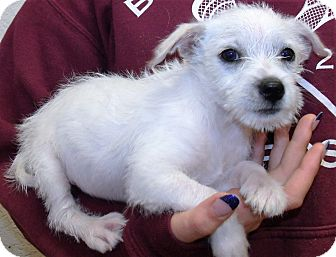 Wirehaired Fox Terrier/Terrier (Unknown Type, Small) Mix Puppy for adoption in Corona, California - JACK