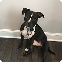 Staffordshire Bull Terrier Dog for adoption in alexandria, Virginia - Pongo