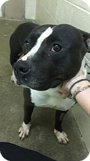 Pit Bull Terrier Mix Dog for adoption in Paducah, Kentucky - Lulu