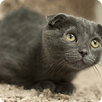Scottish Fold Kitten for adoption in Great Falls, Montana - Jamie