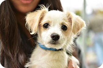 Yorkie, Yorkshire Terrier/Terrier (Unknown Type, Medium) Mix Puppy for adoption in Marina Del Ray, California - HARRY - Video to view