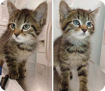 Domestic Shorthair Kitten for adoption in Hudson, New York - Baby Green Eyes - 1 & 2