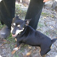 Dachshund/Chihuahua Mix Dog for adoption in Jacksonville, Florida - tate 0916