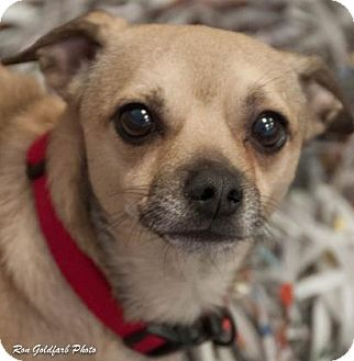 Chihuahua Mix Dog for adoption in Alpharetta, Georgia - Kekoa