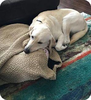 Labrador Retriever Dog for adoption in Denton, Texas - Salt