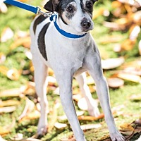 Rat Terrier Mix Dog for adoption in Pitt Meadows, British Columbia - Licorice