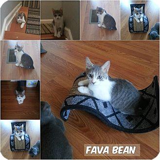 Domestic Shorthair Kitten for adoption in Middletown, Ohio - FavaBean