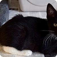 Domestic Shorthair Kitten for adoption in Island Park, New York - Kringle