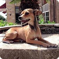 Adopt A Pet :: Lindsey - Austin, TX