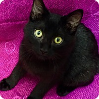 Adopt A Pet :: Einstein-Brainy Bombay Beauty - Plano, TX