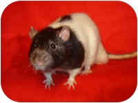 Rat for adoption in Winner, South Dakota - Jarrett