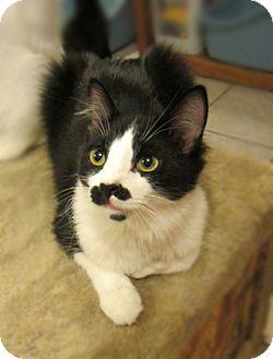 Domestic Longhair Cat for adoption in Long Beach, California - Jameson