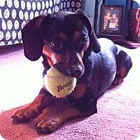 Adopt A Pet :: Little Guy - Ooltewah, TN