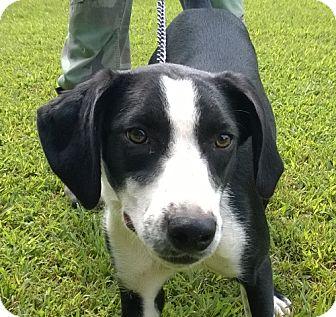 Labrador Retriever/Hound (Unknown Type) Mix Dog for adoption in Jackson, Tennessee - Neta