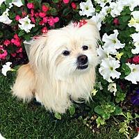 Adopt A Pet :: NORI - Los Angeles, CA