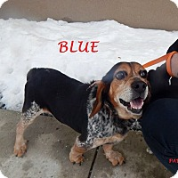 Adopt A Pet :: BLUE - Ventnor City, NJ