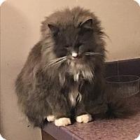Adopt A Pet :: Samson - Naperville, IL