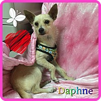 Adopt A Pet :: Daphne - Hollywood, FL