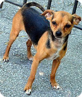 Chihuahua Dog for adoption in Bridgeton, Missouri - Tink