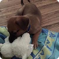 Adopt A Pet :: Potcake Charlie - Alexandria, VA