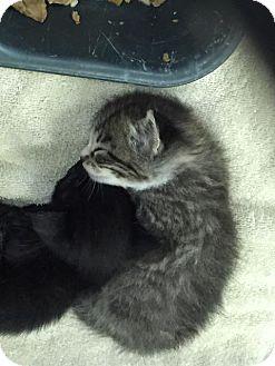 Domestic Shorthair Kitten for adoption in Waycross, Georgia - Trix