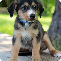 Adopt A Pet :: Lucas - Waldorf, MD