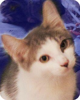 American Shorthair Kitten for adoption in Rochester, New York - Laddy