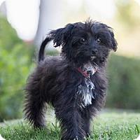 Adopt A Pet :: Townley - San Diego, CA