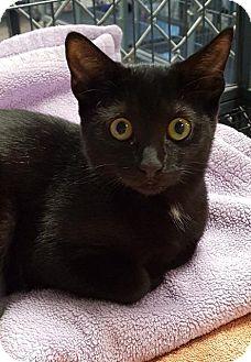 Domestic Shorthair Kitten for adoption in Freeport, New York - Georgette