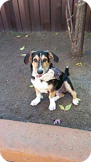 Basset Hound/Sheltie, Shetland Sheepdog Mix Puppy for adoption in Vaudreuil-Dorion, Quebec - Philou