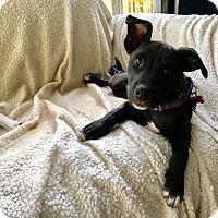 Adopt A Pet :: Magnolia - Bedford Hills, NY