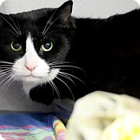 Domestic Shorthair Cat for adoption in Voorhees, New Jersey - Maggie