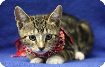 Domestic Shorthair Kitten for adoption in Voorhees, New Jersey - Rowan