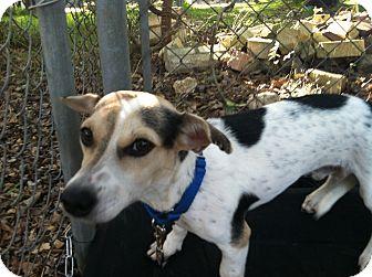 Beagle/Dachshund Mix Dog for adoption in Boerne, Texas - Francois