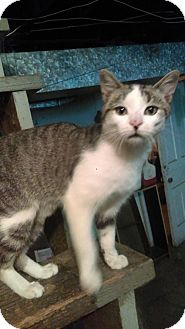 Domestic Shorthair Cat for adoption in Fishers, Indiana - Sonny