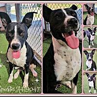 Adopt A Pet :: SPARKLES - San Antonio, TX