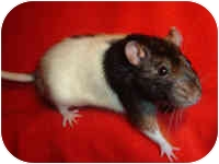 Rat for adoption in Winner, South Dakota - Linnie