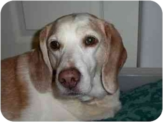 Beagle Dog for adoption in Portland, Oregon - Hutch