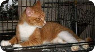 Domestic Shorthair Cat for adoption in Cocoa, Florida - Logan