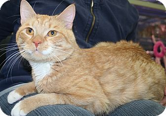 Domestic Shorthair Cat for adoption in Edmonton, Alberta - Sebastian