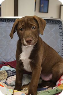 Labrador Retriever Mix Puppy for adoption in Homewood, Alabama - Finnegan