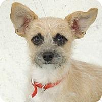 Adopt A Pet :: Foxy - La Habra Heights, CA
