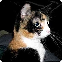Adopt A Pet :: Lucie Calico (sweet girl!) - Portland, OR