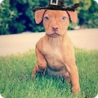 Adopt A Pet :: Daphne - Justin, TX