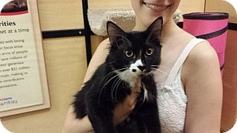 Domestic Shorthair Kitten for adoption in Mesa, Arizona - Shiloh